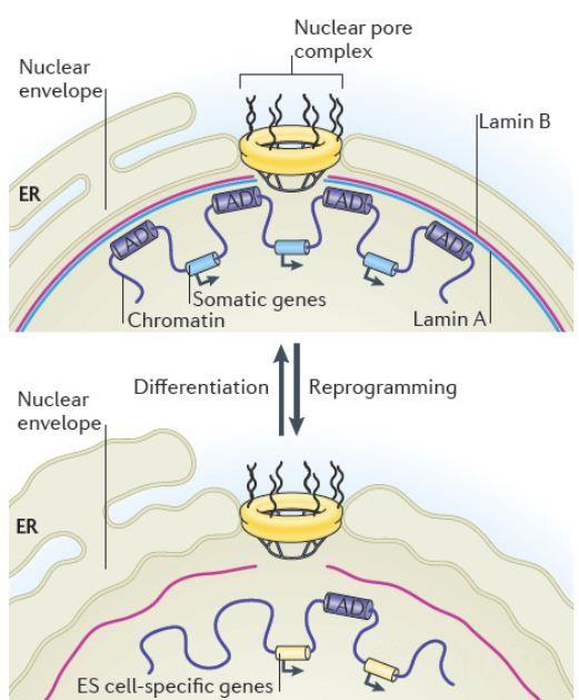 核膜在体细胞和多能干细胞中的结构差异及对核周